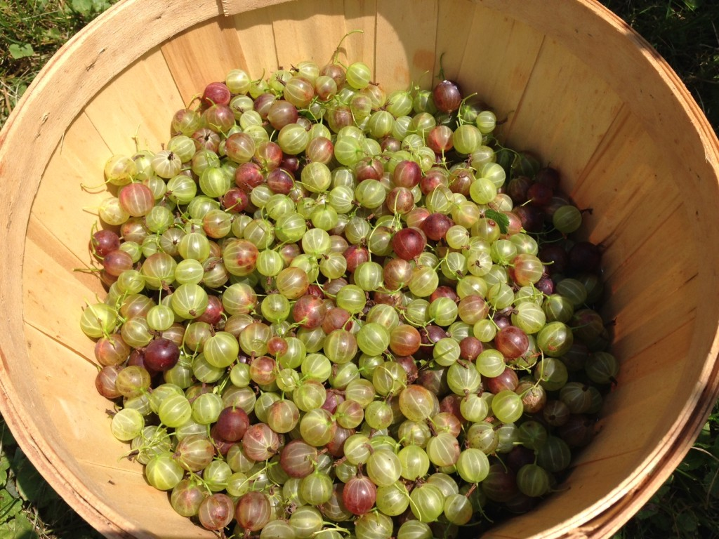 gooseberry basket