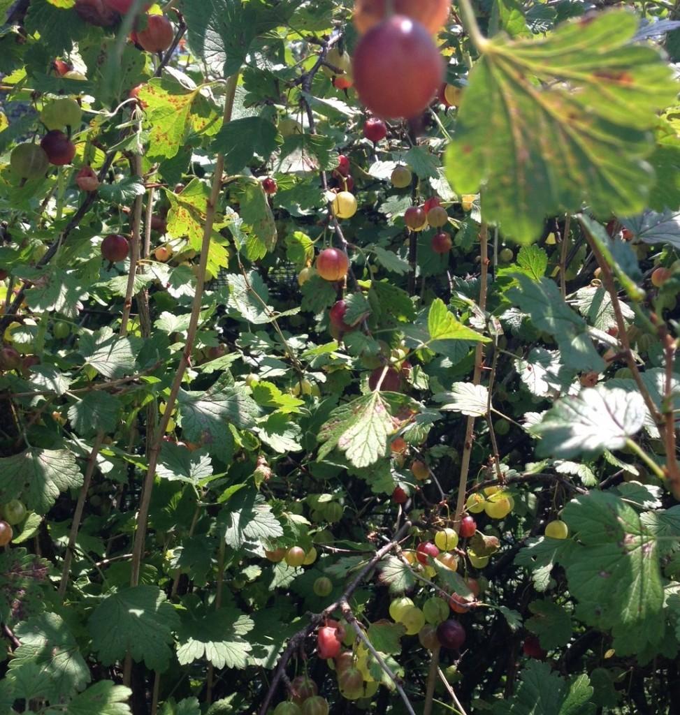 gooseberry bush2
