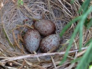 Bird's nest with a trio of eggs